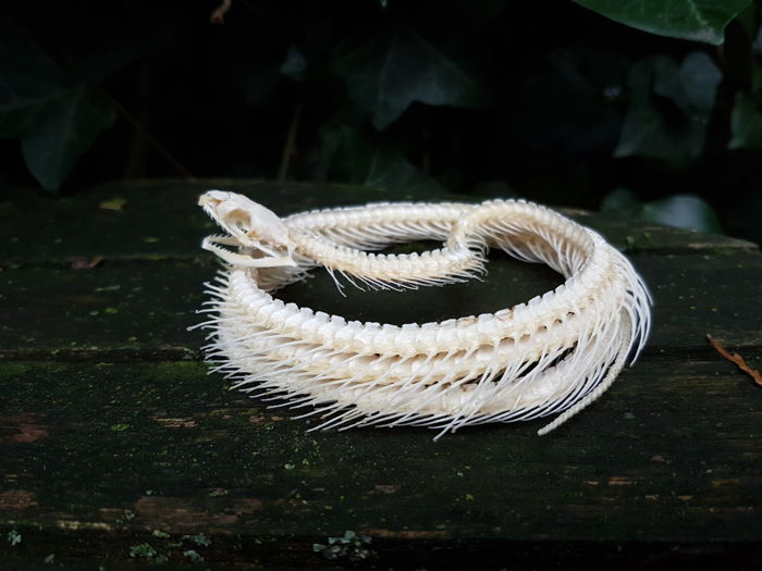 Trinket Snake - fine, coiled and articulated skeleton - Coelognathus radius - diameter 12cm