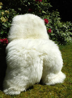 Pair of large, thick and natural white sheepskins - Ovis aries - 140 x 85 cm (2)