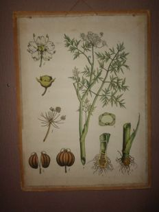 "Old botanical school poster of the ""hemlock"""