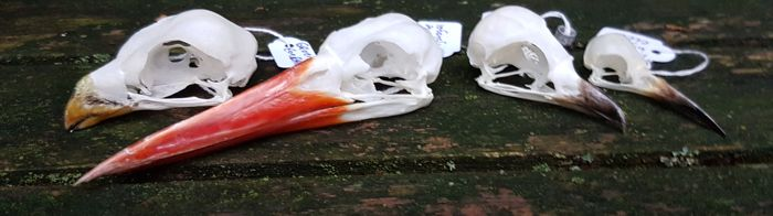Lot comprising varied Bird Skulls - Shrike, Bee-eater, Kingfisher and Turaco - various species - 4.5 to 10cm  (4)