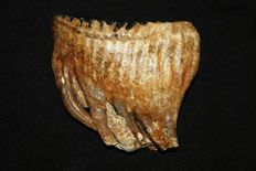 Woolly Mammoth Molar - Mammuthus primigenius - 17 cm