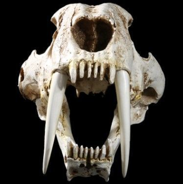 Life-sized Sabre-toothed Tiger, fine replica skull on custom stand - Smilodon - 35 x 20 x 18.5 cm