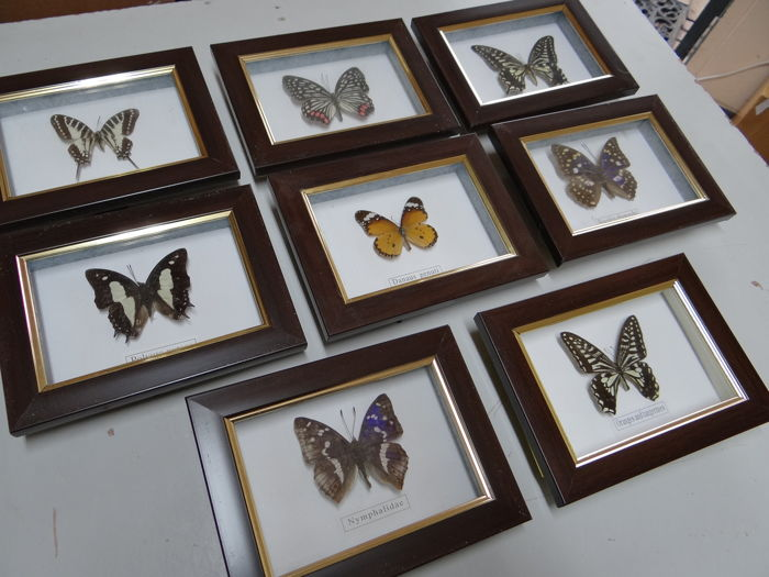 Set of fine Exotic Butterflies in Oriental-style display cases - 16 x 12cm  (6)