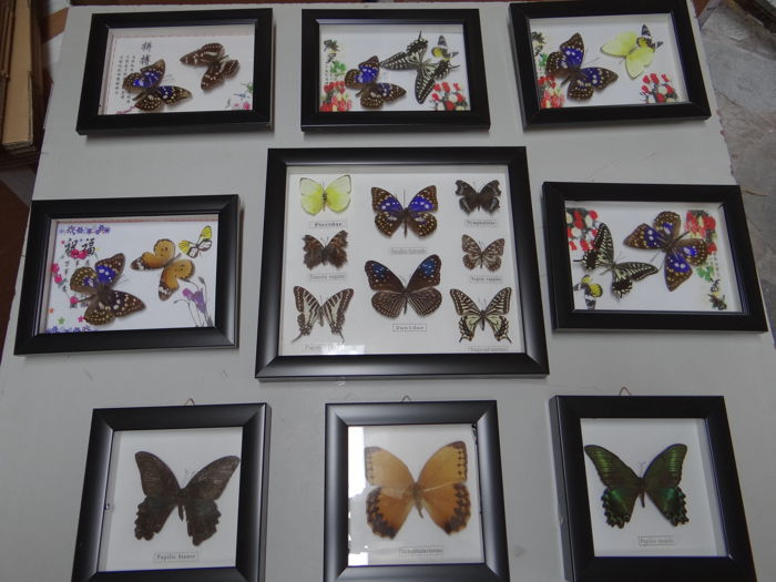 Taxidermy - set of Exotic Butterfly display frames - various species - 16x16 (9)