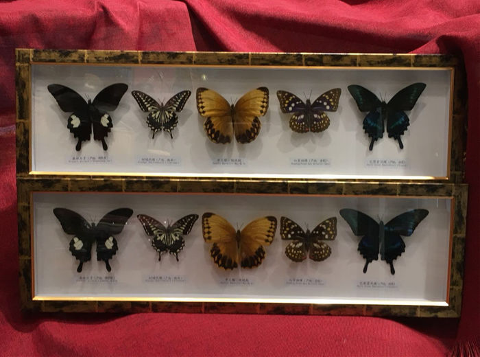 Pair of Exotic Butterfly cases - various species - 62 x 9cm  (2)