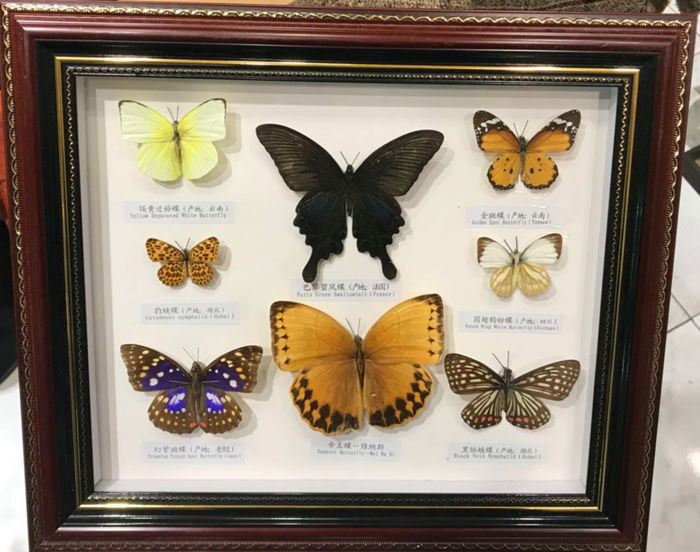 Display case with various Butterflies - different species - 36 x 31cm