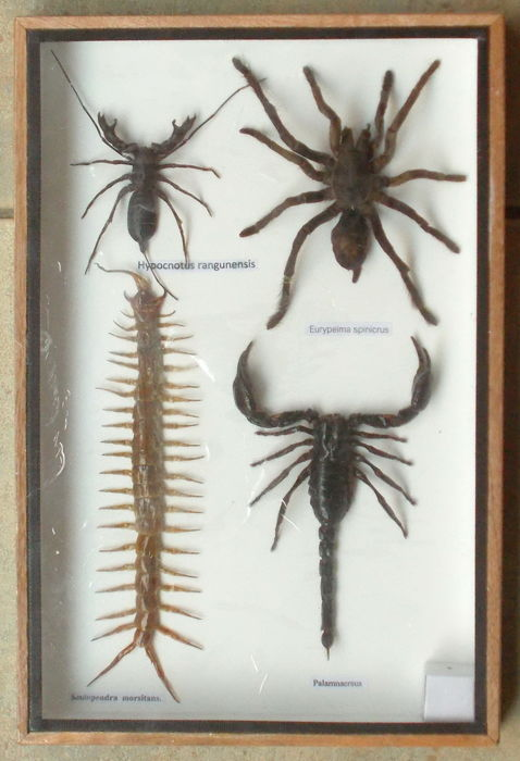Poison Set with named Scorpion, Tarantula and Centipede specimens - 30 x 20cm