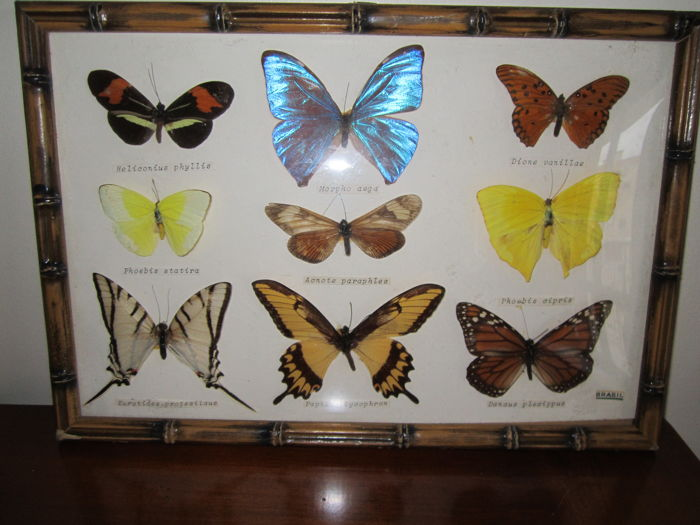 Brazilian Butterfly collection - various species - 32 x 22cm