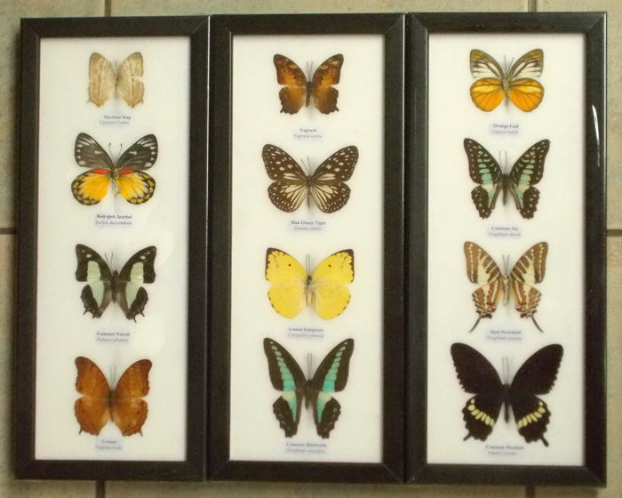 Asian Butterflies - named species - 32 x 13,5 cm (3)