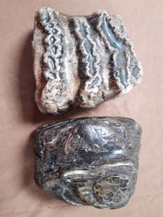 Two fossil parts of teeth of a Stegodon sp. - 9 and  8 cm (2)