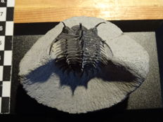 Extraordinary trilobites Comura bultyncki - 5 cm - Top preparation and preservation