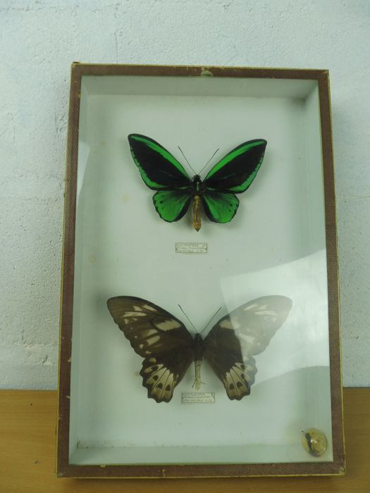 Pair of Priam's Birdwing Butterflies, by Deyrolle, Paris - Prianus bornemani - 39 x 26cm