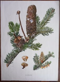 4 Old Biology school posters with the fir, silver fir, rabbit and fish