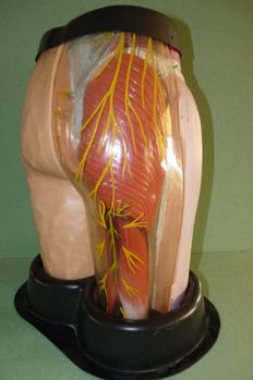 Anatomic life-size model of hip and thigh with cellulite
