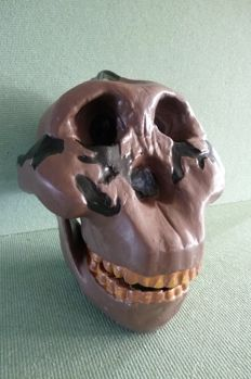 Model of an early human skull in life-size proportions