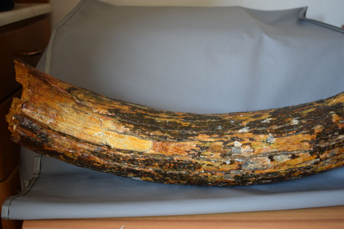 Section of Woolly Mammoth tusk - Mammuthus primigenius - 54 cm - 3 4 kg -  Catawiki