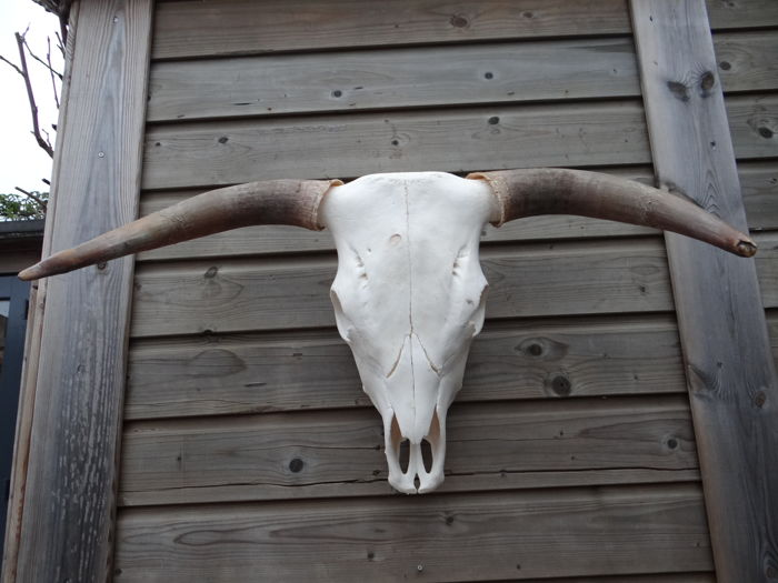 Large and original Ox Skull - Bos taurus - 82 x 50cm