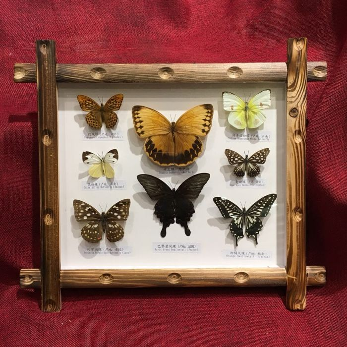 Oriental-style framed Butterflies - different species - 39 x 34cm