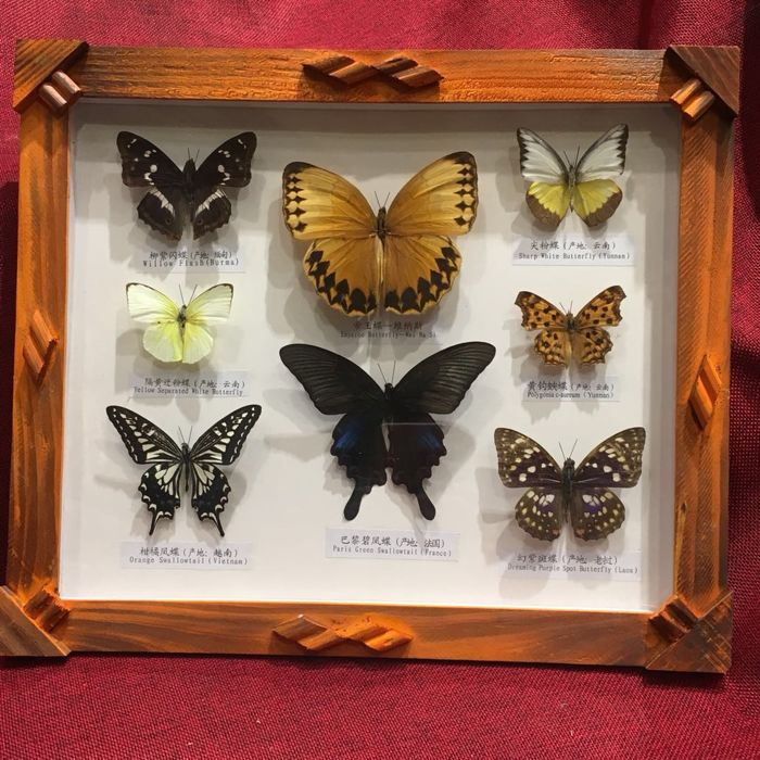 Solid wood frames and various butterflies - different species - 34 x 28.5 x 3 cm.