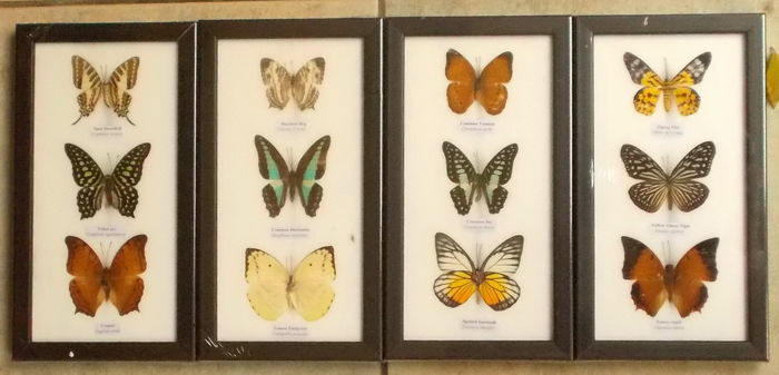 Exotic Butterflies in 4 frames - 25 x 13,5cm  (4)