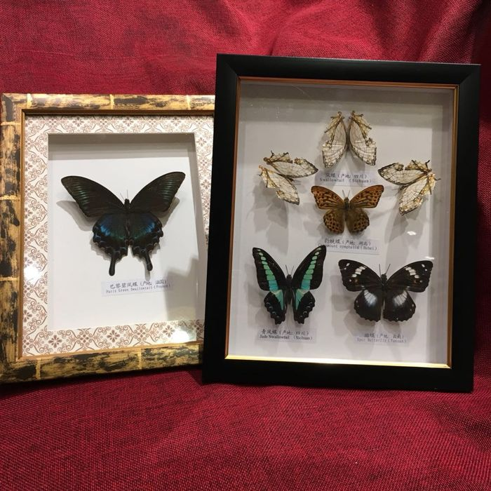 Display cases with various Butterflies - different species - 27 x 22cm  (2)