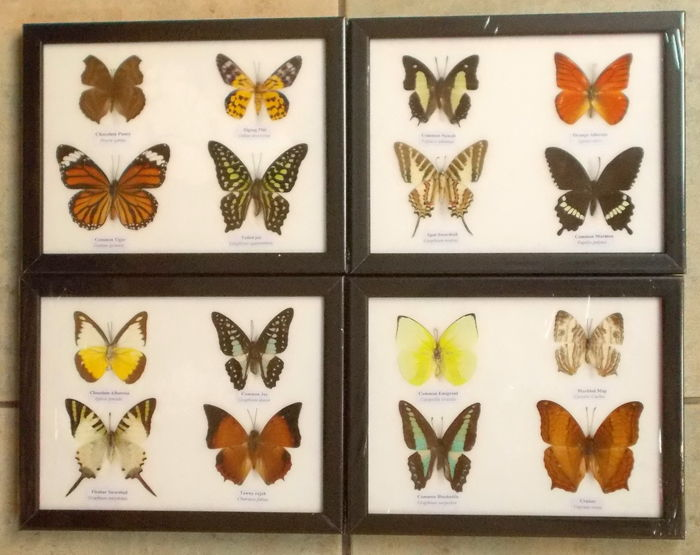 Exotic Butterfly display cases - various, named species - 20 x 17cm  (4)
