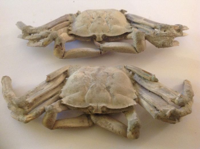 Lot with 2 crab fossils 2 Macrophtalmus 14.5 x 5.5 cm