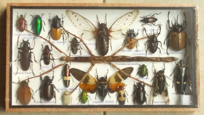Fine, named exotic insect collection in wood display case – 35 x 20 cm.