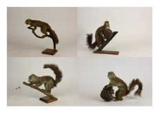 Taxidermy - Set of vintage Red Squirrels - Sciurus vulgaris - 20 x 15cm  (4)