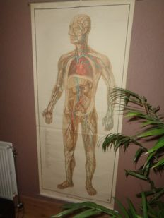 "Life-size human anatomy school map / school poster ""heart and blood vessels"""