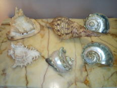 Set of large vintage Polynesian Sea Snail Shells - various species - 13 to 33cm - 3581gm  (6)