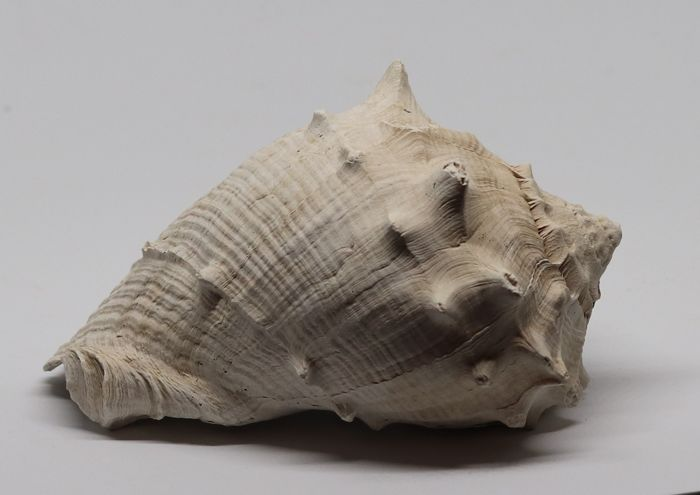 Large size fossil shell Melongena draperi - 13.2 cm - 0.250 kg - Top quality