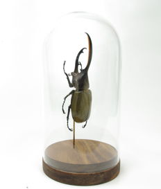 Large, perfect male Hercules Beetle under glass dome - Dynastes hercules septentrionalis - 10 x 20cm