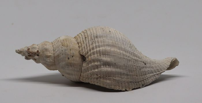 Large fossil shell - Terebraspira scalarina - 14.3 cm - top quality