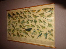 """Old original school poster / school map with """"Songbirds"""". This linen poster shows 57 birds in The Netherlands."""