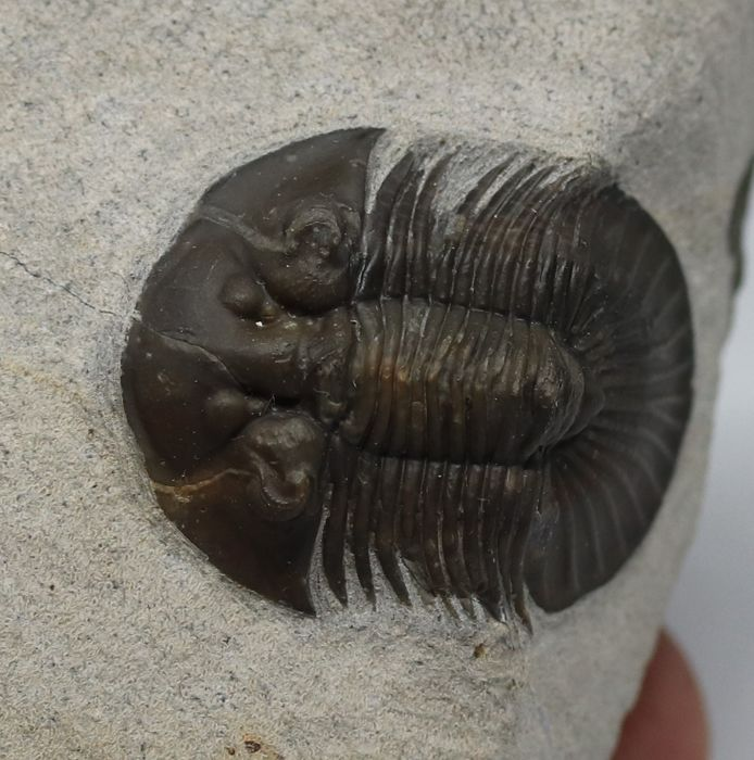 Beautiful trilobite fossil Scabriscutellum hammadi - 3.5 cm - beautiful colour - spikes on the back - Top conservation and preparation