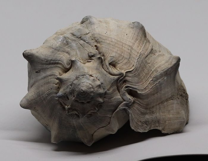 Large size fossil shell Melongena consors taurus - 16 cm - 0.420 kg - Top quality