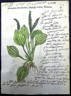 2 botanical prints by Leonhard Fuchs [1501 - 1566] recto and verso of one leaf - Plantago, Plantain [Plantaginaceae: Wegeriche, Weegbree] - With manuscript descriptions - 1549