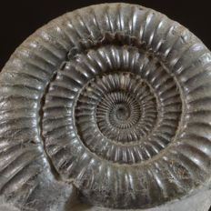 ammonite Dactylioceras commune - 80 x 70 x 40 mm
