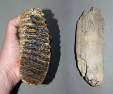 Woolly Mammoth Fossils - tusk fragment and a molar - Mammuthus primigenius - 18,2 cm  and 15,5 cm  (2)