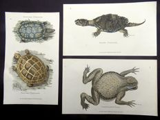 3 x Amphibian Copper Engravings; George Shaw (1751-1813) - Snake Tortoise, Spotted Tortoise, Painted Tortoise,Granulated Toad - hand colour - 1801