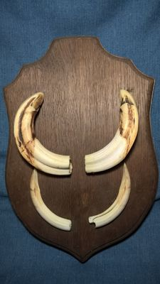 Taxidermy - Wild Boar - Trophy Tusks - Sus scrofa - 36*24 cm