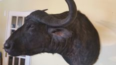 Top Taxidermy - Extra Large African Cape Buffalo Shoulder Mount - Syncerus caffer - 110cm
