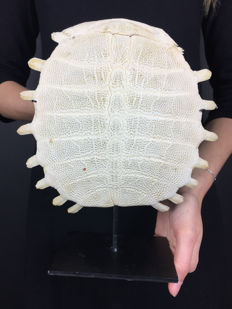 Chinese Softshell Turtle carapace skeleton, with stand - Pelodiscus sinensis - 24 x 26cm