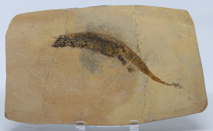 Rare species - 11 cm - Fine quality Fossil Amphibian, much detailed and with skin imprint - Micromelerpethon credneri - 17 x 10 cm