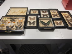 Vintage Malaysian Butterlfy and Moth cases - various species - 14 to 35cm - 5kg  (9)