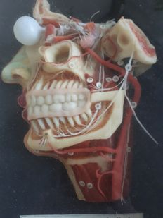 Anatomical wax model of the muscles, nerves and veins