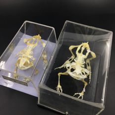 Pair of fully articulated Frog skeletons - Rana sp.- 10cm  (2)