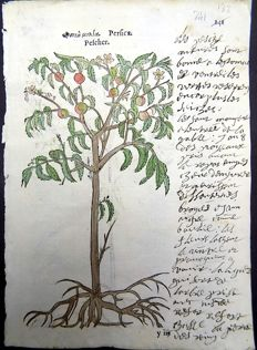 Leonhard Fuchs - Leaf with 2 botanical woodcuts ob one leaf - Peach, Prunus persica [ Pfirsich - Pêcher - Perzik] Peplos, Reueille matin des vignes - hand coloured - 1549