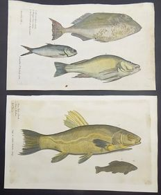 2 x Large Folio copper engravings of fish; Francis Willughby (1635-1672); Tench [Schleie, Tanche, Zeelt]; European Bass, Wolfsbarsch - In hand colour - 1686